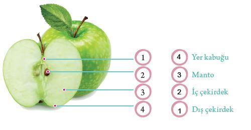 elma resmi